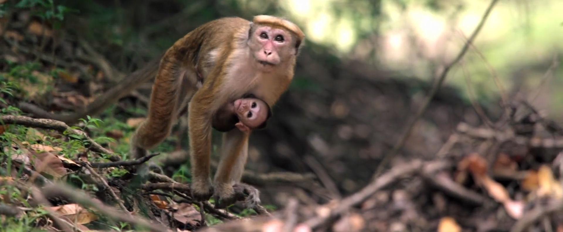 Disney Nature: Monkey Kingdom