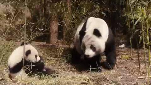 Clip: Panda Family
