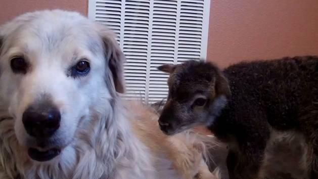 Baby Lamb and Dog