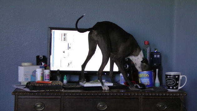 Cantaloupe the Doggy Desk Bandit