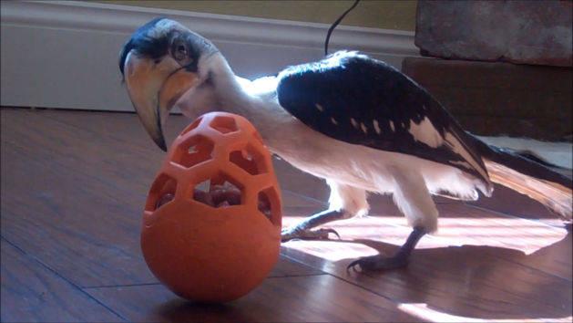 Hornbill Bird's Delicious Dilemma