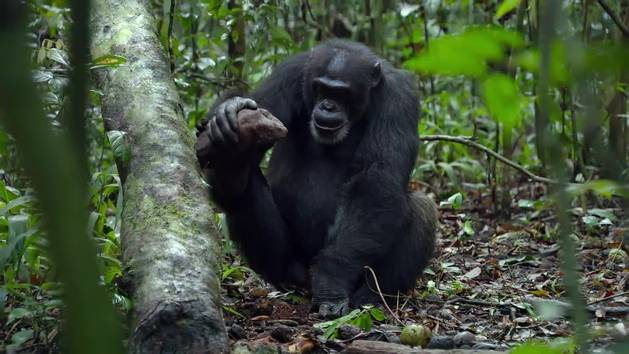 Chimpanzee - Power tools