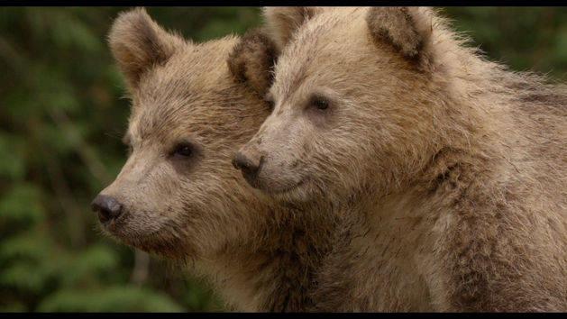 Bears - Disneynature App