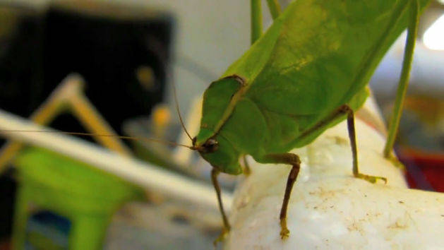 Leaf Bug Up Close and Friendly