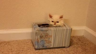 Tissue Box Kitten
