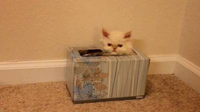 Tissue Box Kitten