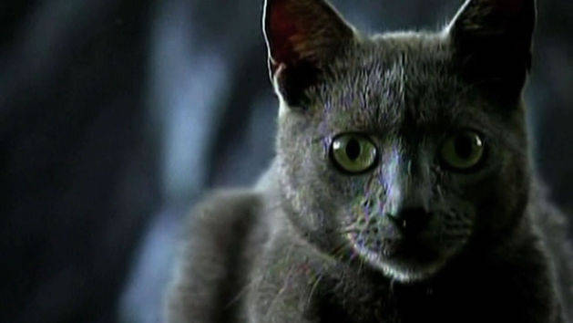 New Cat Breed - Cuban Blue