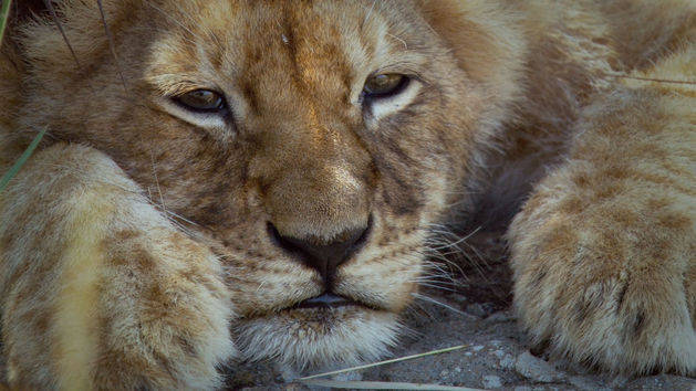 Lioness - African Cats - Disneynature App