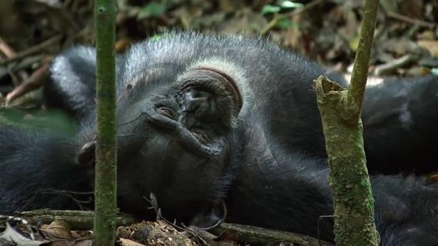 Chimpanzee - Slaaptijd of Speeltijd?