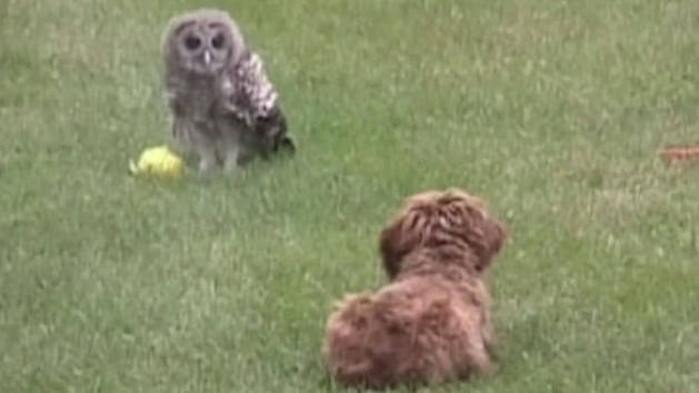 Owl Stares Down Dog