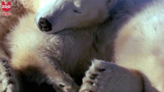 Nap Time For a Pair of Polar Bears