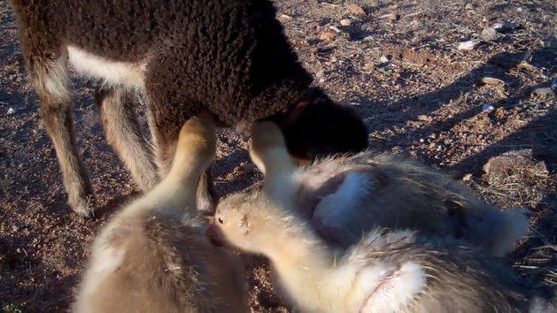Baby Geese Groom Baby Lamb