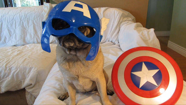 Meet the Avenger Pugs!