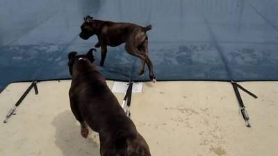 Brock the Boxer and the Pool Cover Playdate