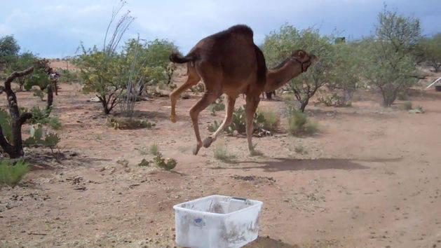 Cowardly Camel
