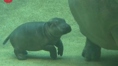 Newborn Hippo Learns To Swim
