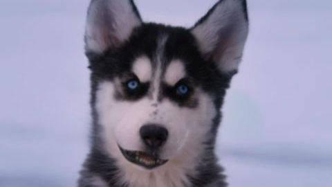 Shasta #1 - Puppy Clips