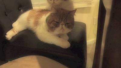 Young Mochi the Persian Cat