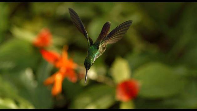 Hummingbird - Clip - Wings of Life