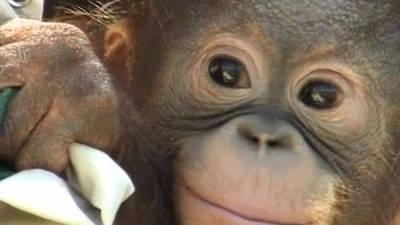 Orphaned Baby Orangutan