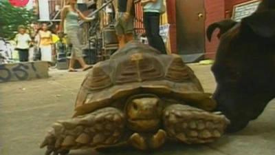 Man Walks Tortoise