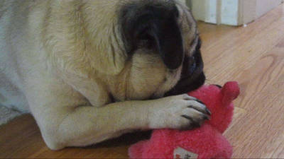 Cute Pug Won't Share His Toy
