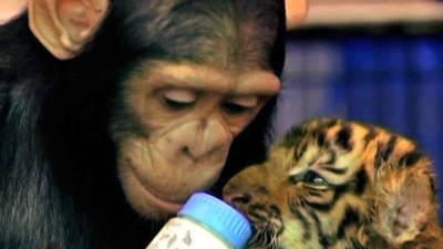 Chimpanzee Bottle Feeds Tiger Cubs