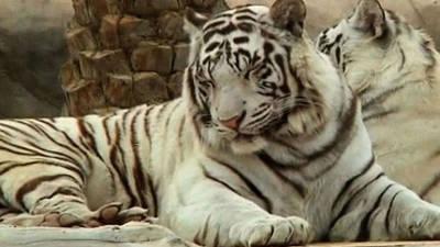 Rare White Tigers