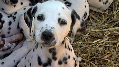 Dalmatian has 16 puppies!