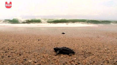 Baby Turtles Go Out To Sea