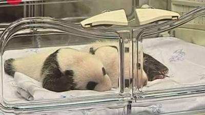 Twin Pandas Born At Madrid Zoo