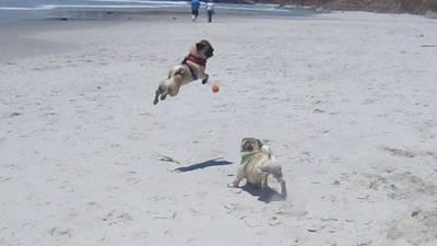 Minnie the Flying Pug