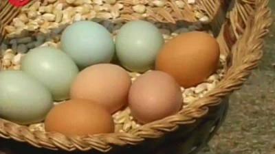 Chicken Lays Green Eggs