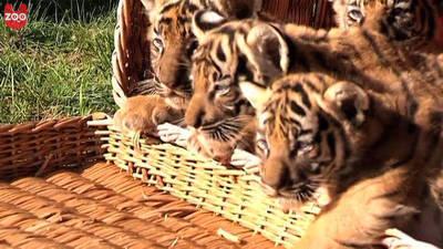 Tiger Cub Quadruplets!