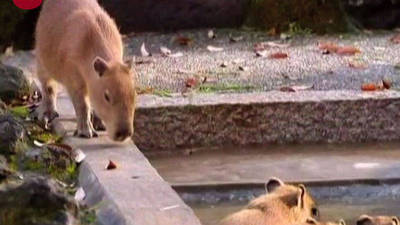 Giant Rodents Hit The Hot Springs