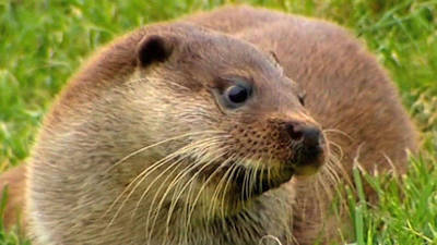 Otters Return To The English Countryside
