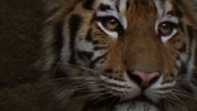 Siberian Tigers Go On Show In South Korea