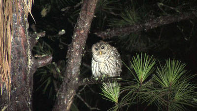 GIANT OWL Talking to a Barred Owl Call