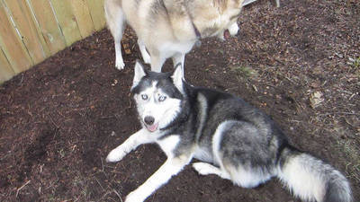 Huskies and a Cool Spot