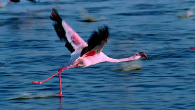 Disneynature: The Crimson Wing-Mystery of the Flamingos