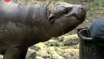 Meet Paul... the baby Hippo