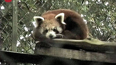 Red Pandas Released
