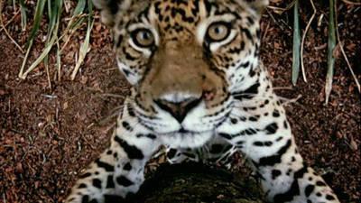 Jungle Cat Trailer