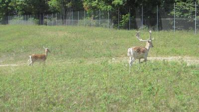Huskies Meet Elk While on a Walk