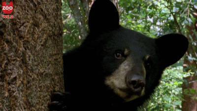 Bears Climb Trees