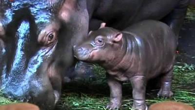 Baby Czech Hippos