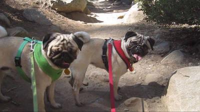 Pugs Hike Lake Tahoe