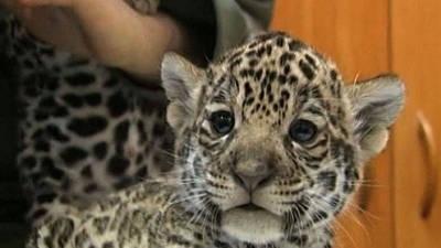 Baby Jaguar Cubs