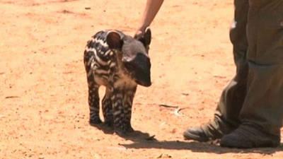 Safari Park Welcomes Newborn Baby Tapir