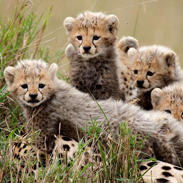 Sita's Cubs